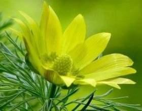 Адоніс весняний (горицвіт) - опис, цілющі властивості, застосування фото