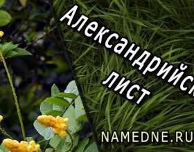Олександрійський лист і його лікувальні властивості, застосування, протипоказання фото