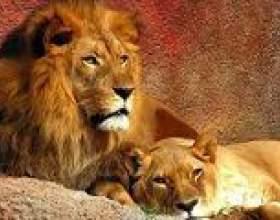 Алергічна реакція на шерсть левів: незвичайний випадок фото