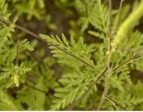 Амброзія полинолиста, алергія на амброзію - опис, корисні властивості, застосування фото