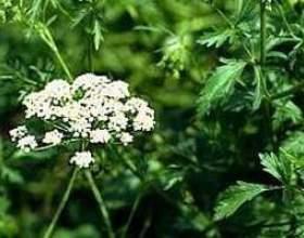 Аніс звичайний (масло, насіння анісу) - опис, лікувальні властивості, застосування фото