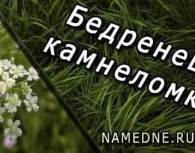Бедренец-ломикамінь - лікувальні властивості фото
