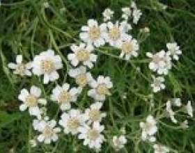 Чіхотная трава - опис, корисні властивості, застосування фото