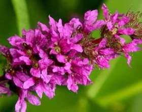 Дербенник іволістний (трава) - опис, лікувальні властивості, застосування фото