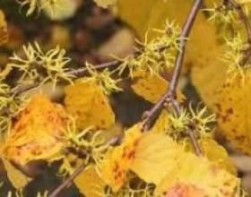 Гамамеліс віргінський (мазь, свічки, екстракт) застосування фото