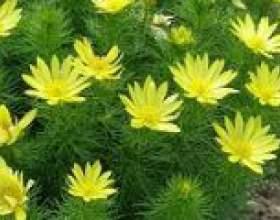 Горицвіт весняний фото
