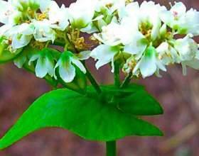 Гречка посівна - лікувальні властивості фото