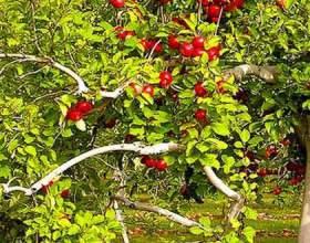 Яблуня - лікувальні властивості фото