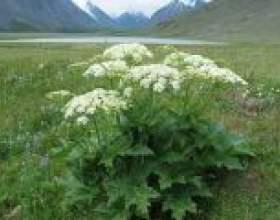 Отруйна рослина борщівник: методи боротьби фото