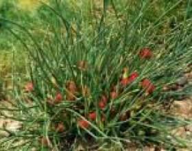 Ефедра хвощевая (трава): лікувальні властивості і застосування фото