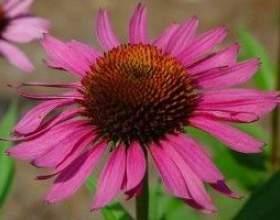 Ехінацея пурпурна - опис, корисні властивості, застосування фото