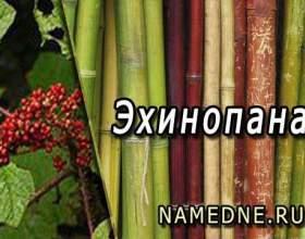 Ехінопанакс - лікувальні властивості фото