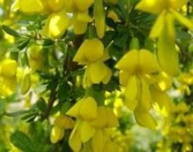 Карагана (жовта акація) - опис, застосування, лікувальні властивості фото