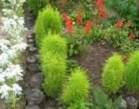 Кохия (вирощування, посадка, догляд) - опис, корисні властивості, застосування фото