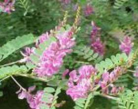 Копійочник (скнара чайний, червоний корінь) - опис, корисні властивості, застосування фото