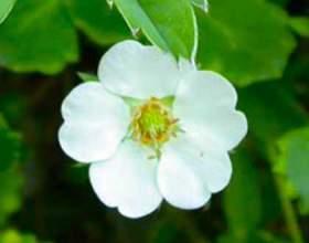 Перстач біла - лікувальні властивості фото