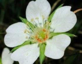 Перстач біла (настоянка, корінь перстачу) - опис, лікувальні властивості, застосування фото