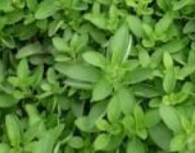 Майоран (вирощування, приправа) - опис, корисні властивості, застосування фото