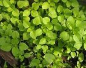 Мокриця (трава) - опис, корисні властивості, застосування фото