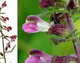 Митник (болотний) - опис, корисні властивості, застосування фото