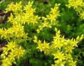 Очиток їдкий (догляд, вирощування) - опис, корисні властивості, застосування фото