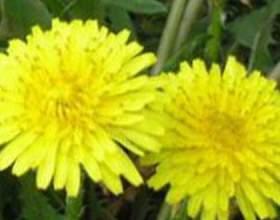 Кульбаба - лікувальні властивості фото