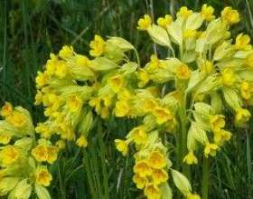 Первоцвіт весняний - опис, корисні властивості, застосування фото