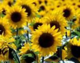Соняшник: лікувальні властивості, вирощування, догляд фото