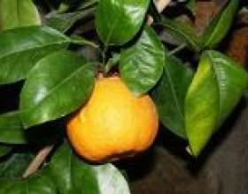 Помаранча (рослина) - опис, корисні властивості, застосування фото