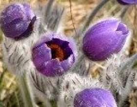 Простріл (сон-трава) - опис, корисні властивості, застосування фото