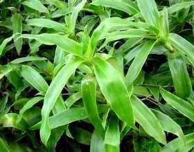 Рослина золотий вус: його лікувальні властивості і протипоказання фото