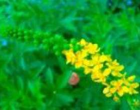 Репешок звичайний трава - опис, корисні властивості, застосування фото