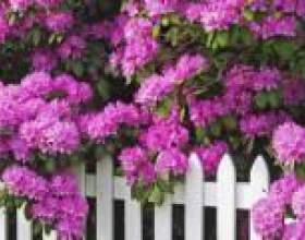 Рододендрон (посадка і догляд) - опис, корисні властивості, застосування фото