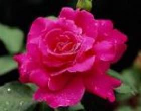 Роза кримська - опис, корисні властивості, застосування фото