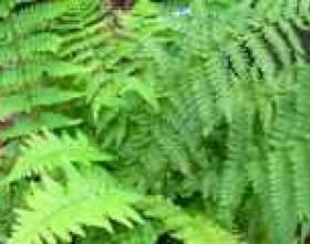 Щитовник (рослина): лікувальні властивості і застосування фото