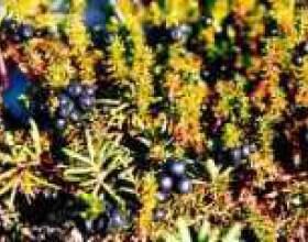 Шикша або вороника чорна (трава): корисні властивості фото