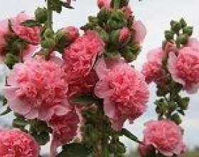 Шток-троянда - опис, корисні властивості, застосування фото