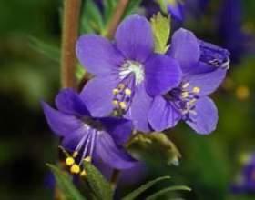 Синюха блакитна (трава, корінь) - опис, застосування, лікувальні властивості фото