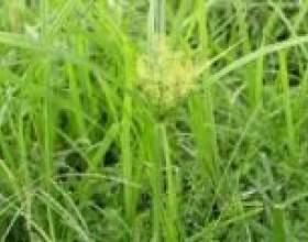 Сить (трава) - опис, корисні властивості, застосування фото