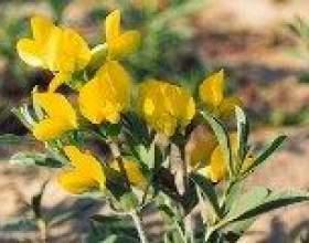 Трава термопсису - опис, корисні властивості, застосування фото