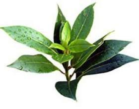 Вчимося використовувати масло чайного дерева від прищів фото