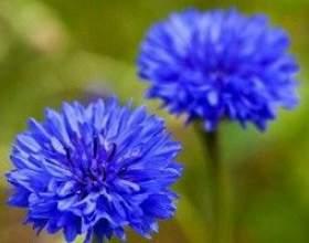 Волошка синя - опис, корисні властивості, застосування фото