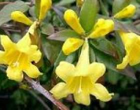 Жовтий жасмин - опис, корисні властивості, застосування фото