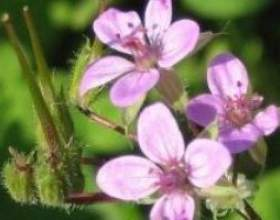 Журавельнік (рослина) - опис, лікувальні властивості, застосування фото